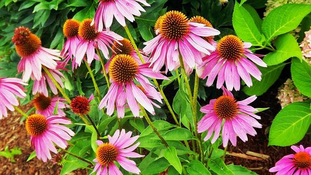 Echinacee-naturopathie-ayurveda.com
